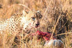 Cheetah on a Reedbuck kill in the Sabi Sabi game reserve. Stock Photo