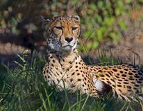 Cheetah. Relaxed African Cat Laying In Grass stock image