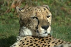 Cheetah relaxing. A very cool cheetah at wildlife park in Oregon royalty free stock photo