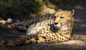 Cheetah relaxing in the afternoon sun Royalty Free Stock Photo