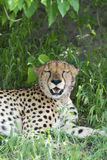 Cheetah relaxing after dinner. Royalty Free Stock Image
