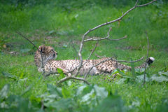 Cheetah relaxing Royalty Free Stock Photography