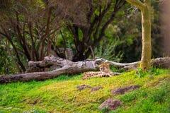 Cheetah Relaxing on Grass Stock Photos