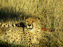 Southern african animals. Cheetah relaxing in  the high grass Stock Image