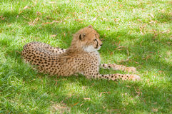 Cheetah relaxing in the shade Royalty Free Stock Image
