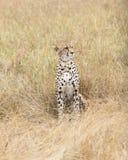 Cheetah rest in tall grass Stock Photo