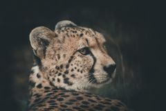 Cheetah rested, but the eyes still look victim. black tear-like stock photo