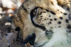 Cheetah resting. Outdoor head portrait of a resting African Cheetah Stock Images