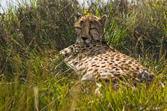Cheetah resting Stock Images