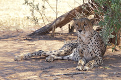 Cheetah resting Stock Photo