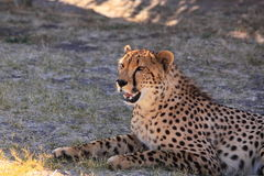 Cheetah resting stock image