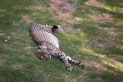 Cheetah resting Royalty Free Stock Images
