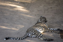 Cheetah resting Royalty Free Stock Photography