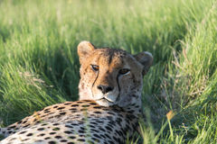 A cheetah resting in the afternoon Stock Photo