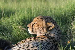 A cheetah resting in the afternoon. Sun. It was after the morning that they had killed a baby tsessebe(antelope). The picture was taken in the Okavango Delta of Stock Photos