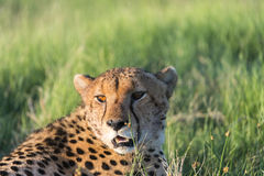 A cheetah resting in the afternoon. Sun. It was after the morning that they had killed a baby tsessebe(antelope). The picture was taken in the Okavango Delta of Stock Photography