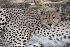 Cheetah resting Royalty Free Stock Photography