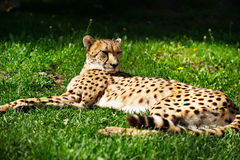 Cheetah resting on the grass Stock Photo