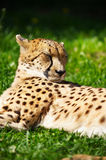 Cheetah resting on the grass Stock Photos