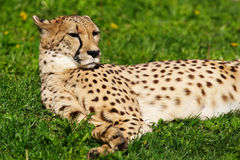 Cheetah resting on the grass Stock Photography