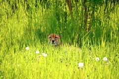 Cheetah resting in the grass Stock Photos