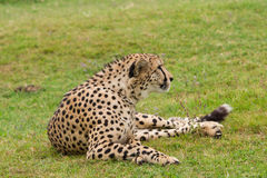 Cheetah resting on the grass Stock Images
