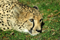 Cheetah resting on grass. Portrait of cheetah resting on green grass Stock Photos