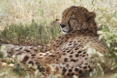 Cheetah resting in grass. Closeup of cheetah resting in grass during summer Stock Photos