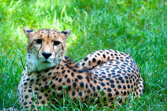 Cheetah resting in grass, lying, looking. Beautiful cheetah resting in the grass, during a very hot spring day Royalty Free Stock Photography