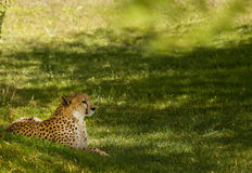 Cheetah Resting on Grass Royalty Free Stock Photo