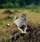 Cheetah resting on a grassy mound. In Africa, Kenya Royalty Free Stock Image