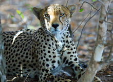 Cheetah Resting next to a bush in Hwange National Park Royalty Free Stock Images
