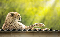 Cheetah resting on the roof Royalty Free Stock Images
