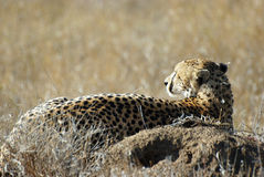 Cheetah resting in savanna Royalty Free Stock Images