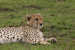 Resting cheetah in the Maasai Mara. A cheetah resting on the savannah of the Maasai Mara, Kenya Stock Photos