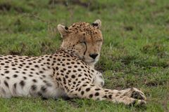 Resting cheetah in the Maasai Mara. A cheetah resting on the savannah of the Maasai Mara, Kenya Stock Images