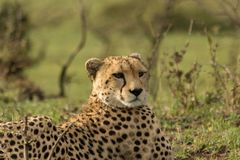 Resting cheetah in the Maasai Mara. A cheetah resting on the savannah of the Maasai Mara, Kenya Royalty Free Stock Images