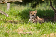 Cheetah resting in the shade. A cheetah resting in the shade Stock Images