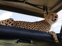 Cheetah Resting in Shade of Safari Vehicle Roof, Serengeti National Park, Tanzania. Cheetah resting shade safari vehicle roof serengeti national park tanzania royalty free stock image