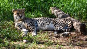 A cheetah resting in the shade royalty free stock photography