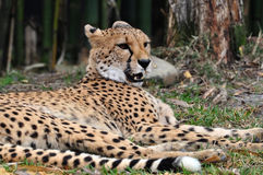 Cheetah resting in the shade of the trees. Cheetah's are endangered in most of Africa and the world due to loss of habitat. The cheetah is the fastest animal Stock Image