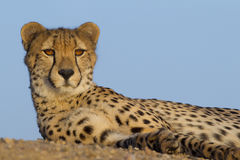 Cheetah resting, South Africa. Cheetah portrait, (Acinonyx jubatus), South Africa Royalty Free Stock Image