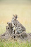 Cheetah. A resting cheetah stays observance for potential prey Stock Photo