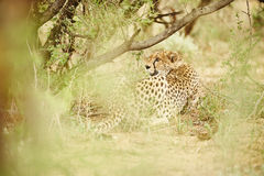 Cheetah resting under tree Royalty Free Stock Images