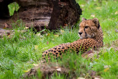 Cheetah resting in the wild Royalty Free Stock Images