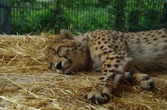Cheetah resting in a zoo. Enjoying warm weather. Really nice and majestic animal. Cat Royalty Free Stock Images