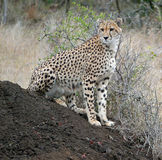 Cheetah rests on an anthill in S. Africa. A cheetah patrols his territory while resting on an anthill in the Phinda Game Reserve in South Africa royalty free stock photo