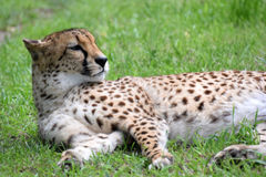 Cheetah rests in green grass Royalty Free Stock Image