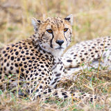 Cheetah rests at plains of Serengeti Stock Images