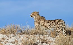 Cheetah on a ridge in the Kalahari. A young cheetah standing on a ridge in the Kalahari desert, South Africa stock photos